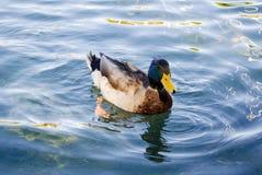 Заплывание дикой утки на пруде Стоковое Изображение RF
