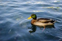 Заплывание дикой утки на пруде Стоковые Изображения RF