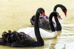 Заплывание красивого лебедя плавая на пруде стоковые изображения