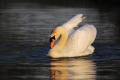 заплывание лебедя стоковое фото