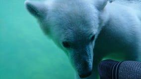 заплывание медведя приполюсное подводное стоковое фото