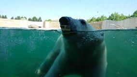 заплывание медведя приполюсное подводное стоковое фото rf