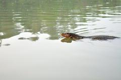 Заплывание монитора воды в пруде стоковая фотография