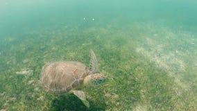 Заплывание морской черепахи в тропической воде caribbeans, видео- замедленном движении HD сток-видео