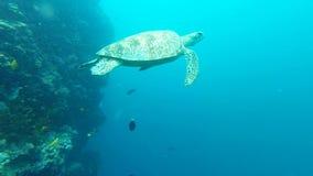 Заплывание морской черепахи к моей камере и соединяет при товарищ принятый на остров Sipadan