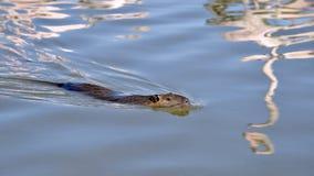 Заплывание нутрии стоковое фото