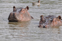 заплывание пар hippopotams Стоковые Изображения RF