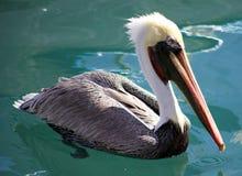 Заплывание пеликана плавая над водой в рае океана тропическом в Los Cabos Мексике Стоковое Изображение