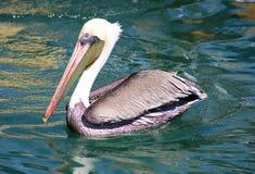 Заплывание пеликана плавая над водой в рае океана тропическом в Los Cabos Мексике Стоковые Изображения RF