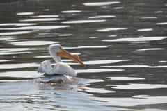 Заплывание пеликана Стоковые Изображения