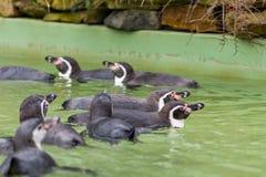 Заплывание пингвина Гумбольдта в воде, портрете пингвина Стоковое Изображение RF