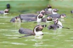 Заплывание пингвина Гумбольдта в воде, портрете пингвина Стоковая Фотография