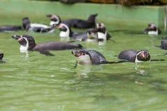 Заплывание пингвина Гумбольдта в воде, портрете пингвина Стоковые Фотографии RF