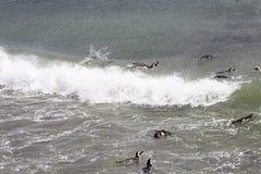 Заплывание пингвина Magellanic и серфинг в океане Запас Punta Tombo, Аргентина Стоковое фото RF