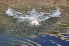 Заплывание полярного медведя на воде wildlife Природа Стоковое фото RF