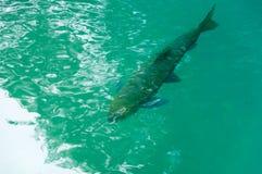 Заплывание рыб в чистой воде Стоковые Фото