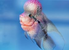 Заплывание рыб Cichlid Flowerhorn красочное в садке для рыбы стоковое фото rf
