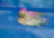 Заплывание рыб Cichlid Flowerhorn красочное в садке для рыбы стоковое фото