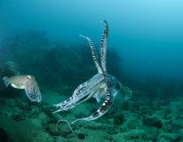 заплывание рыб cuttle стоковое изображение