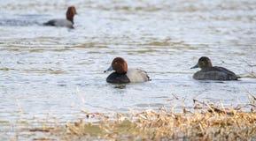 Заплывание селезня и курицы утки Redhead на озере, Georgia США Стоковое Изображение
