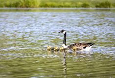 Заплывание семьи гусыни Канады в пруде Стоковое фото RF