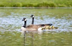 Заплывание семьи гусыни Канады в пруде Стоковые Изображения