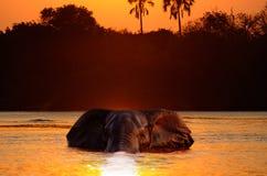 заплывание слона Стоковая Фотография