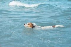 заплывание собаки ЩЕНОК ДЖЕК РАССЕЛА ИГРАЯ НА БЕРЕГЕ ПЛЯЖА НА ЛЕТЕ стоковое изображение