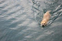 заплывание собаки стоковое фото