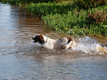 заплывание собаки Стоковое фото RF