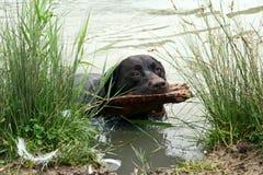 заплывание собаки Стоковая Фотография RF