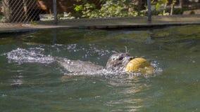 Заплывание уплотнения гавани с шариком стоковое изображение rf