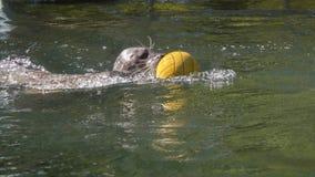 Заплывание уплотнения гавани с шариком стоковое фото