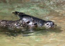 заплывание уплотнения семьи Стоковая Фотография