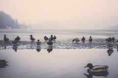Заплывание утки кряквы в кровоточенном озере Стоковая Фотография RF
