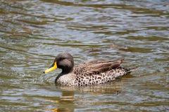 Заплывание утки на пруде стоковые фотографии rf