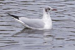Заплывание чайки на общее озере кладбищ, Саутгемптоне стоковые фото