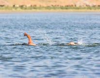 Заплывание человека в озере Стоковая Фотография RF