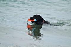 Заплывание черной собаки восстанавливая игрушку из воды Стоковые Изображения