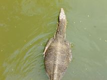 Заплывание ящерицы монитора воды в озере стоковое фото rf