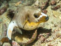 Заплывание Blowfish на underwater стоковые изображения rf