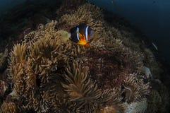 Заплывание Clownfish среди ветреницы в Японии стоковое фото