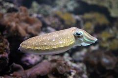 заплывание cuttlefish стоковое изображение rf