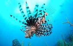 Заплывание Lionfish в голубом море стоковые фото