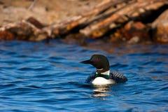 заплывание loon камеры к wildcommon Стоковые Изображения