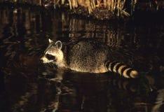 заплывание raccoon Стоковые Фотографии RF