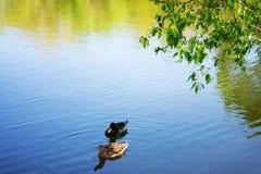 2 заплыва уток кряквы птицы в озере или реке парк города Весна или летний день стоковые фото