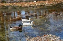 3 заплыва уток на реке в осени стоковые изображения rf