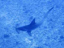 Заплывы акулы молота над рифом Стоковая Фотография