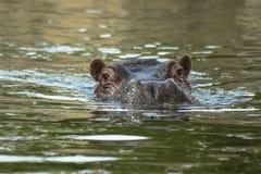 Заплывы бегемота в воде Стоковое фото RF
